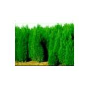 1-3米蜀侩价格·1-3米蜀侩种植基地·蜀侩产地供应山西蜀侩