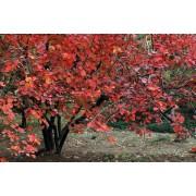 红花玫瑰苗木,丛生玫瑰花,从生山萸肉_丛生紫薇供应商