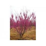 【山桃树价格】山桃树批发价格_山桃树图片 - 企业发展网