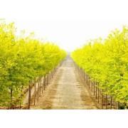 【金叶榆】最新金叶榆_价格_图片_产地报价表-运城春秋园林