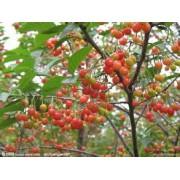 樱桃树苗价格-新品种果园绿植_品牌直供