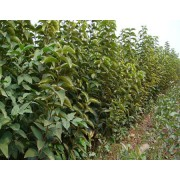急售柿子树苗-阳丰全新柿子树苗欢迎参观、品质保证